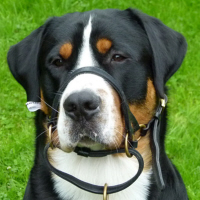 Great Swiss Mountain Dog from Belgium